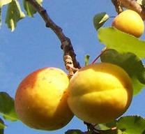 abricot phytothérapie