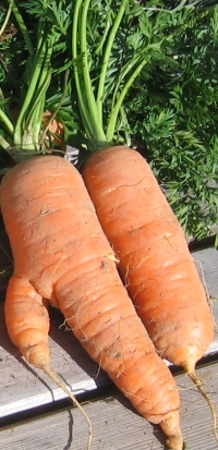 carotte phytothérapie