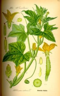concombre phytothérapie