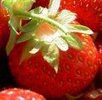 fraise phytothérapie