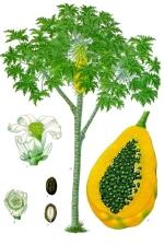 papaye phytothérapie
