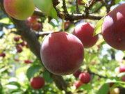 phytothérapie prune