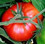 tomate phytothérapie